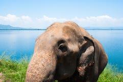 Fronte dell'elefante Fotografia Stock Libera da Diritti