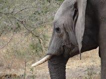 Fronte dell'elefante Immagine Stock Libera da Diritti