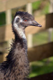 Fronte dell'emù in un'azienda agricola Fotografia Stock