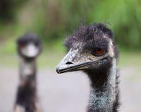 Fronte dell'emù in un'azienda agricola Immagini Stock Libere da Diritti