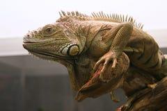 Fronte dell'iguana Fotografie Stock