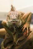 Fronte dell'iguana Fotografia Stock
