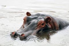 Fronte dell'ippopotamo Immagine Stock