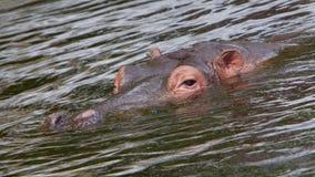 Fronte dell'ippopotamo nell'acqua Immagine Stock Libera da Diritti
