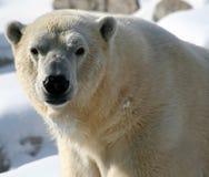 Fronte dell'orso polare fotografie stock libere da diritti