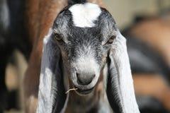 Fronte della capra Fotografia Stock