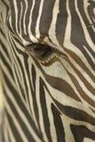 Fronte della fine della zebra del Grevy in su Fotografia Stock Libera da Diritti