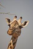 Fronte della giraffa Immagine Stock Libera da Diritti
