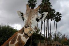 Fronte della giraffa Fotografia Stock