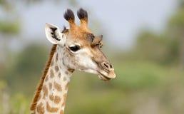 Fronte della giraffa con Oxpecker - il parco nazionale di Kruger fotografia stock