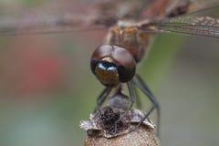 Fronte della libellula immagini stock
