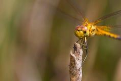 Fronte della libellula gialla Fotografia Stock
