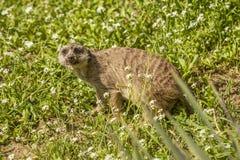 Fronte della marmotta Fotografia Stock