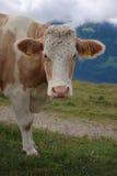Fronte della mucca Fotografia Stock Libera da Diritti