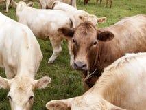 Fronte della mucca da latte di Brown Fotografia Stock