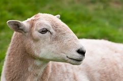 Fronte della pecora Immagini Stock Libere da Diritti
