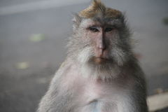 Fronte della scimmia, Ubud Immagine Stock Libera da Diritti