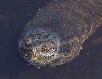 Fronte della tartaruga di schiocco Fotografia Stock Libera da Diritti