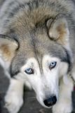 Fronte della testa di cane sopra Fotografia Stock