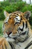 Fronte della tigre Fotografie Stock