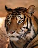 Fronte della tigre Fotografia Stock