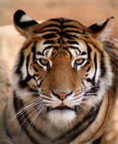 Fronte della tigre con la bocca leggermente aperta Immagine Stock
