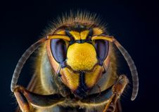 Fronte della vespa europea del calabrone su fondo nero fotografie stock