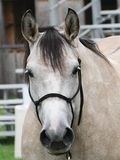 Fronte di bianco, cavallo del primo piano di colore dell'acaro degli agrumi fotografia stock libera da diritti