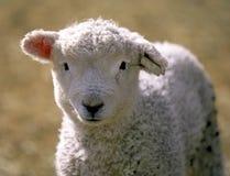 Fronte di giovane agnello Fotografia Stock