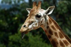 Fronte di Girafe Immagini Stock