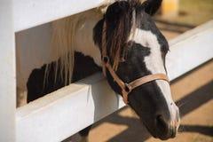 Fronte di piccolo cavallo Immagine Stock Libera da Diritti