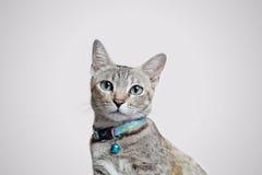 Fronte di seduta del primo piano del gatto grigio Immagini Stock Libere da Diritti