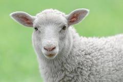 Fronte di un agnello bianco Immagini Stock