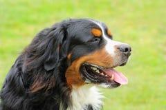 Fronte di un cane del bovaro bernese che cresce sulla lingua a causa del calore Fotografia Stock