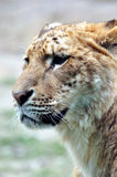Fronte di un leone femminile Fotografie Stock