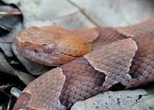 Fronte di un serpente di Copperhead Fotografia Stock Libera da Diritti