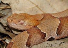 Fronte di un serpente di Copperhead Fotografia Stock