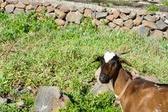 Fronte di una capra Fotografie Stock Libere da Diritti