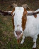 Fronte di una capra con i corni Fotografia Stock
