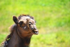 Fronte divertente del cammello fotografie stock libere da diritti