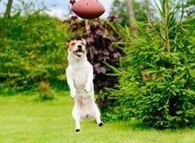 Fronte divertente del cane che gioca football americano di fantasia al giardino del cortile fotografia stock libera da diritti