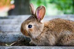 Fronte divertente del piccolo coniglio sveglio, coniglietto marrone lanuginoso su fondo di pietra grigio Fuoco molle, profondità  Immagini Stock Libere da Diritti