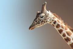 Fronte divertente del ` s della giraffa Immagini Stock Libere da Diritti