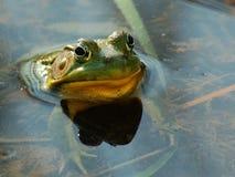 Fronte divertente della rana con lo spazio della copia Fotografia Stock