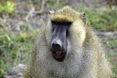 Fronte divertente della scimmia in Africa Fotografie Stock Libere da Diritti