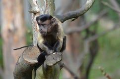 Fronte divertente su una scimmia trapuntata del cappuccino in un albero Fotografia Stock Libera da Diritti