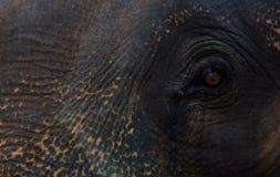 Fronte ed occhio dell'elefante drammatici Fotografia Stock