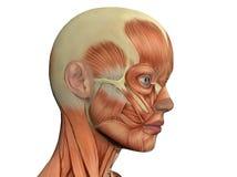 Fronte femminile che mostra i muscoli Fotografia Stock