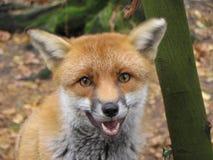 Fronte Foxy Fotografia Stock