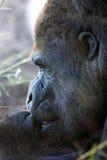 Fronte gigante della gorilla Immagini Stock